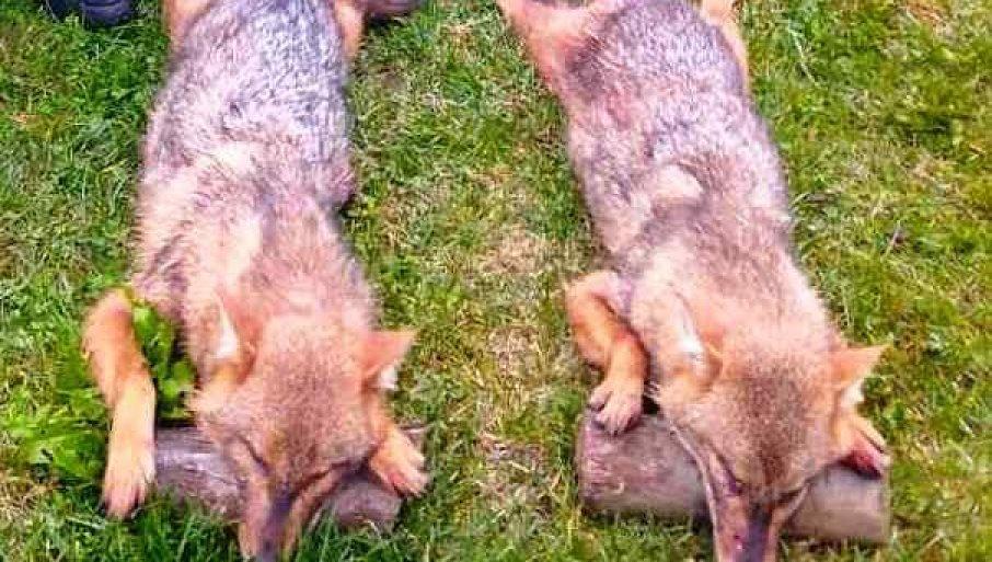 УБИЈЕНА ДВА ШАКАЛА НЕДАЛЕКО ОД ЦЕНТРА МОДРИЧЕ: Предатори све бројнији, убијају овце и остале домаће животиње (ФОТО)