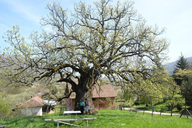 Најстарији храст на Балкану <br/> Фото: Танјуг