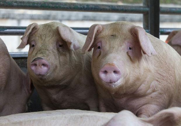 Iz Hrvatske uvozimo najviše živih svinja