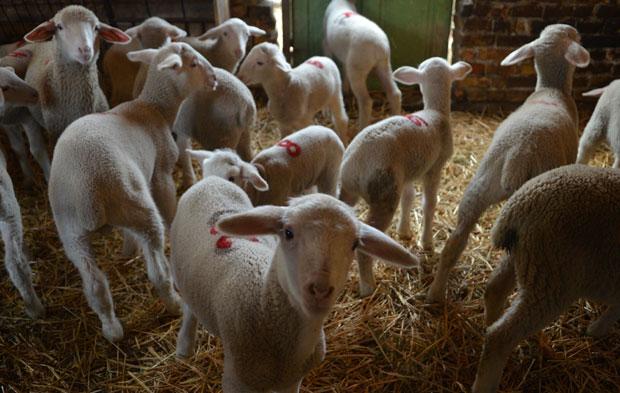 Albanija počinje izvoz ovaca i koza u Srbiju
