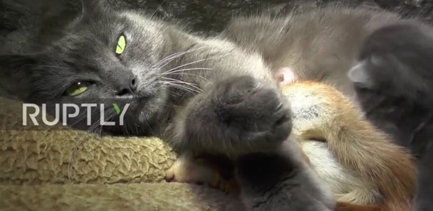 Gole piliće maca