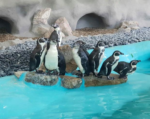 Beograd Dobio Pingvinarijum Zoo Vrt Bogatiji Za 17 Pingvina