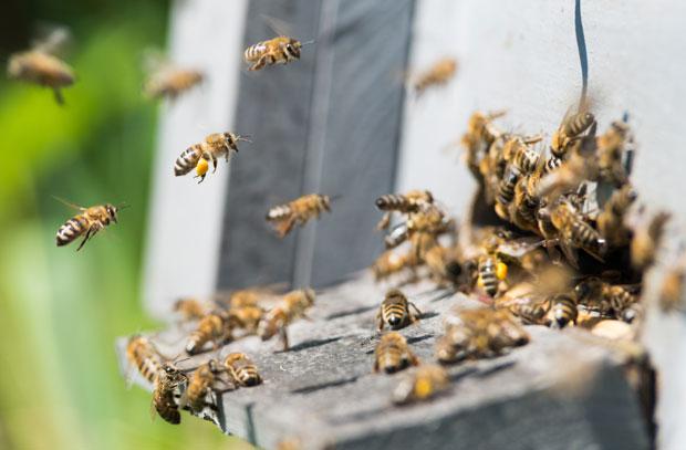 PČELE NAPALE LjUDE I KONjE KOD FUTOGA: Trojica povređena, terali ...