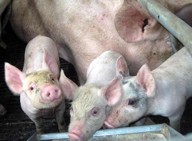Novih slučajeva svinjske kuge nema, država u pripravnosti