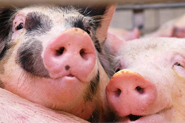 Pojačane mere kod Negotina zbog svinjske kuge u Rumuniji